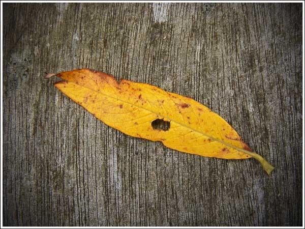 Leaf by THE_HIGHLANDER96