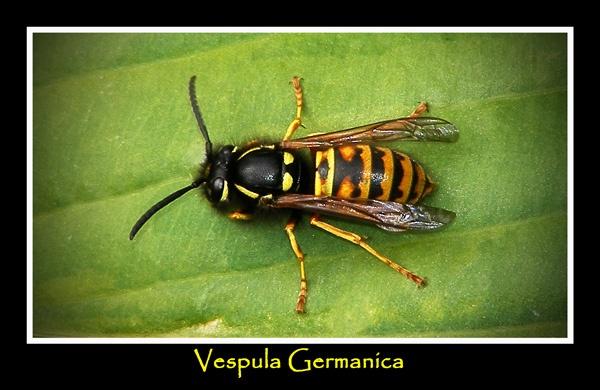 Vespula Germanica by THE_HIGHLANDER96