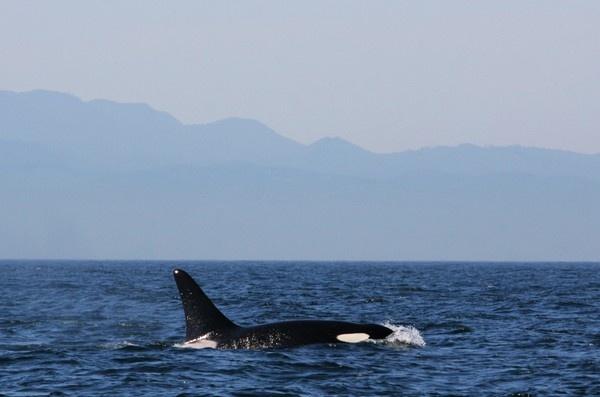 Sooke Killer Whale by Ubhejane