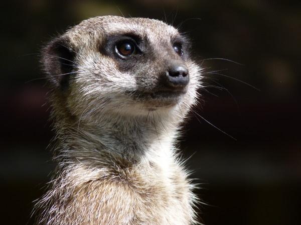 Meerkat by nofearnev