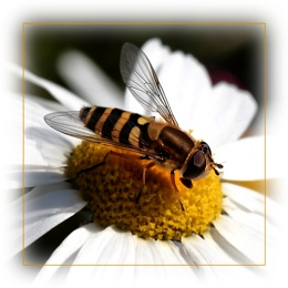 Hover fly II