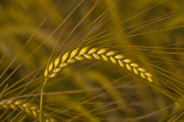 Barley by Artois