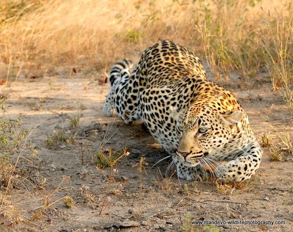 Stalking Leopardess by Mandevo