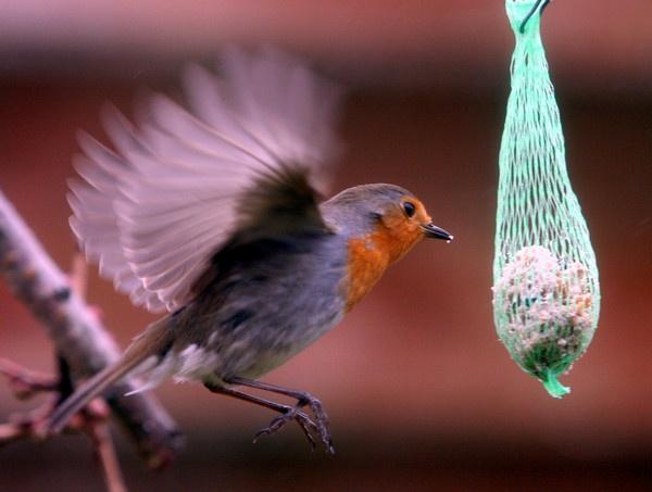 Robin by BillN