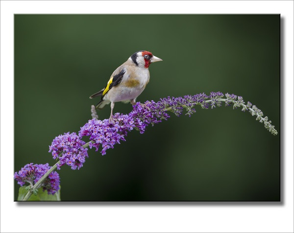 Goldfinch on Buddleia by barnowls