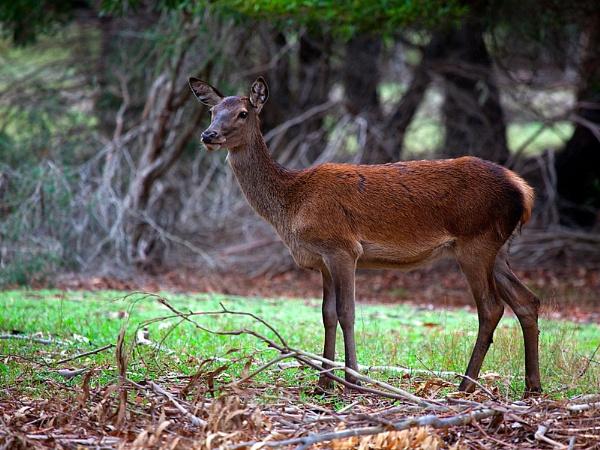 Grampians Deer by Davesumner
