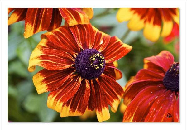 Rudbeckia--Vivid Flower by Doglet