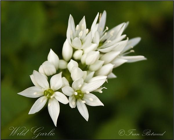 Wild flowers 3 by franfoto