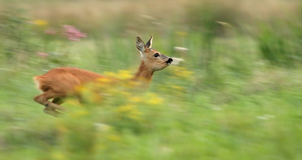 Leaping Roe Doe by SurreyHillsMan