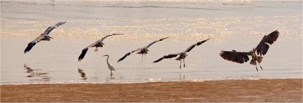 Grey Heron Landing by smallbeer49