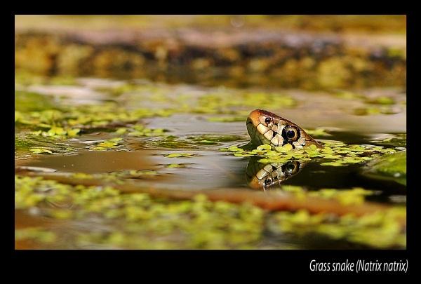 Grass Snake by chalkhillblue
