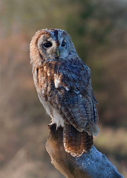 Tawny Owl by Lorraine_Wallace