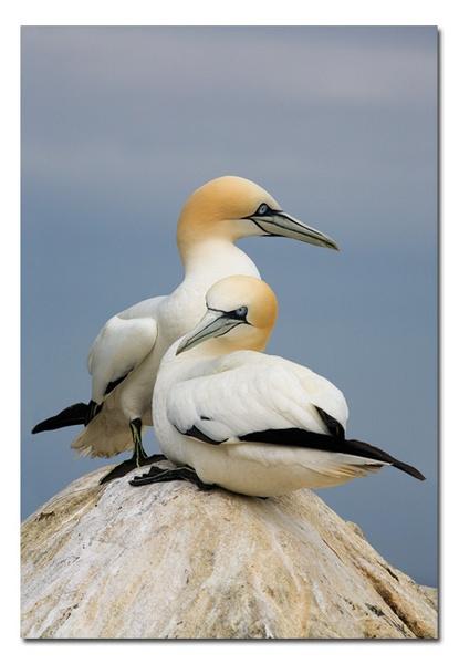 Gannets by Guy_Rogers