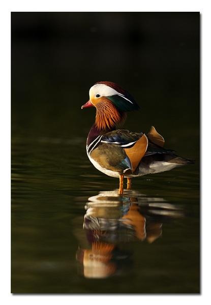 Mandarin by Guy_Rogers