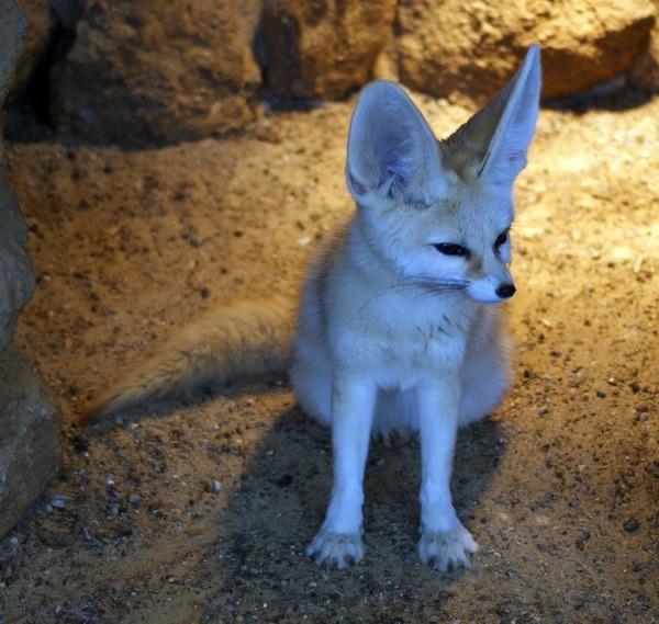 Fennece Fox. by Xander_H