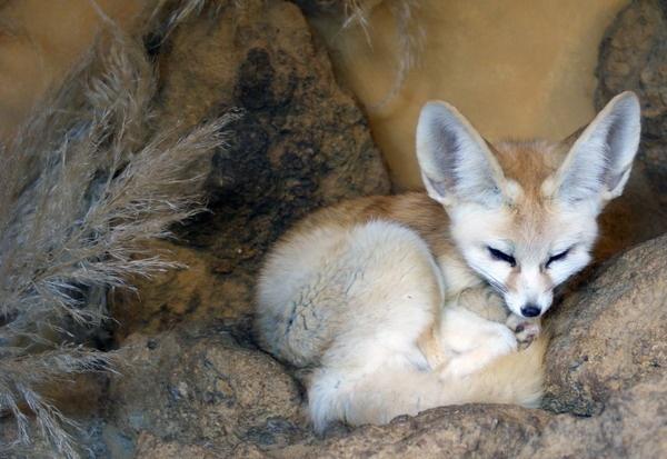 Fennec Fox No2. by Xander_H