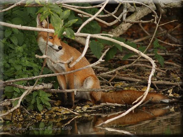 Red Fox by StephenDurrant