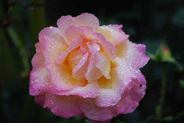 \'summer\' Rose by brownbear