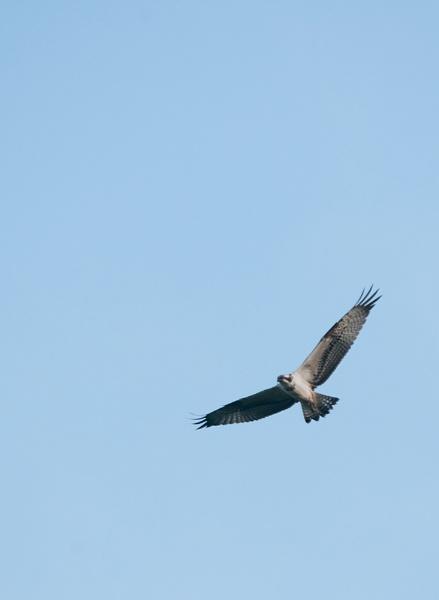 Osprey soaring by dewie