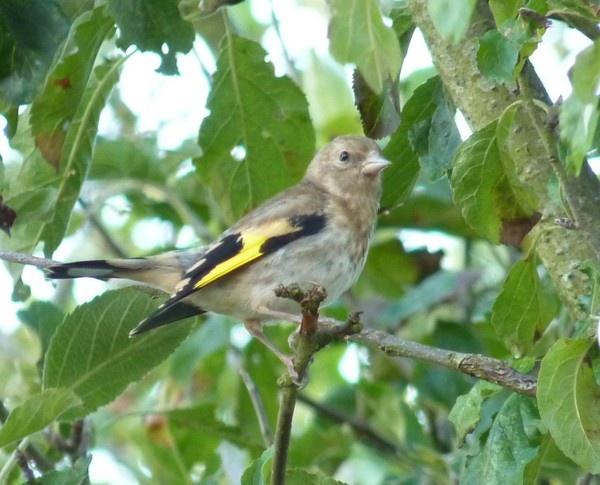 Juvanile Goldfinch by CallumThomas
