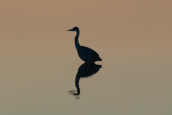 heron sillhouette by kieranmccay