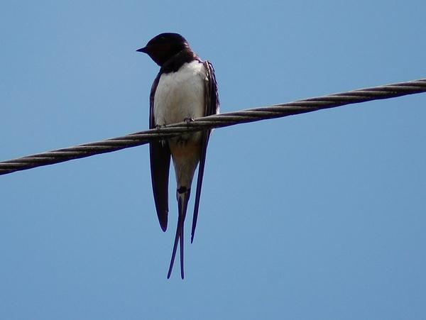 Swallow by gabriel_flr