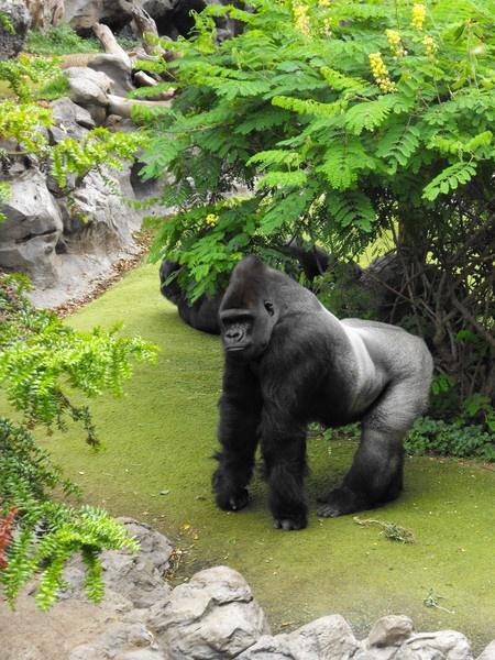 Silverback Gorilla by bigwulliemc