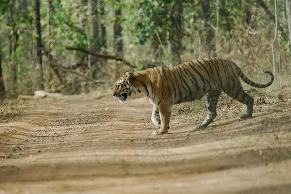 Tigress by nishchal