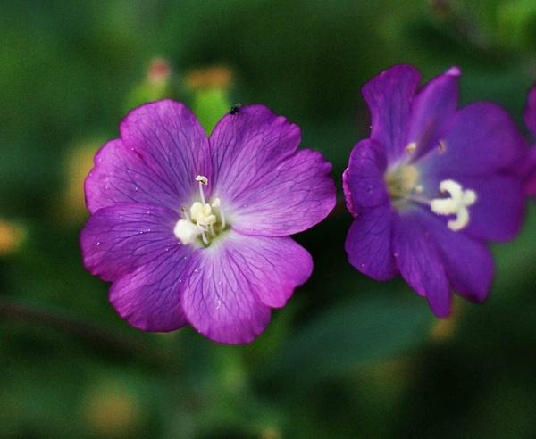 Purple Flower by janeil