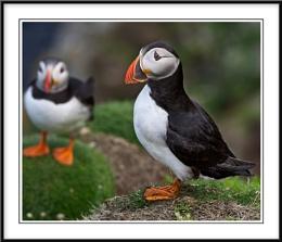 Shetlands Wildlife