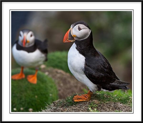 Shetlands Wildlife by Adrian_Reynolds