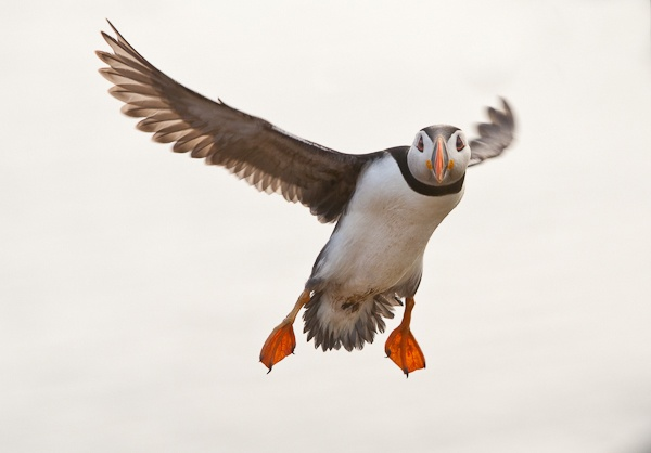 Puffin overhead by pronature
