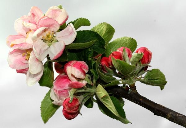 Apple Blossom by Artois