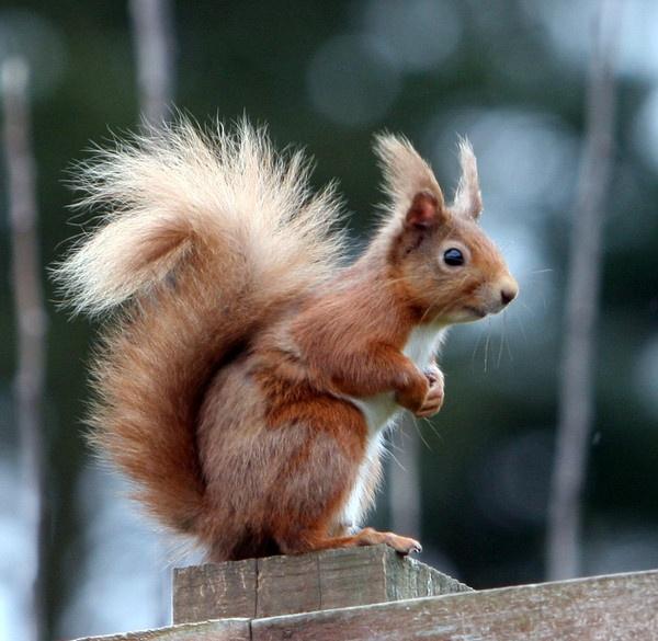Red Squirrel by BillN