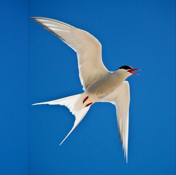 Tern in flight by ejways