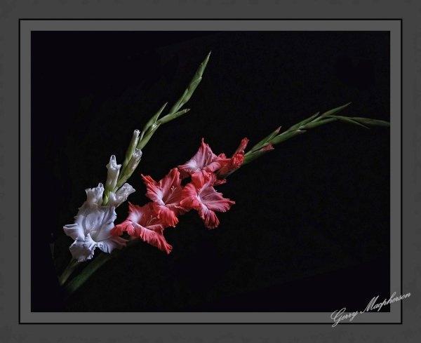 Gladioli by gerrymac