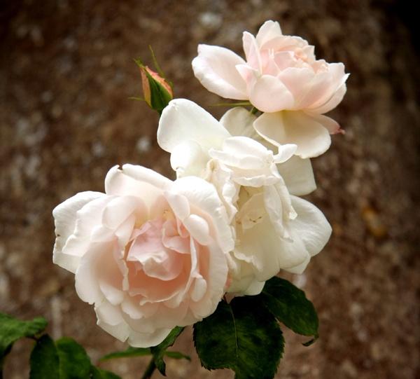 Roses by Ada