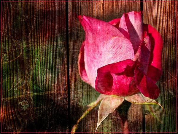 rosie.. by janecurrie