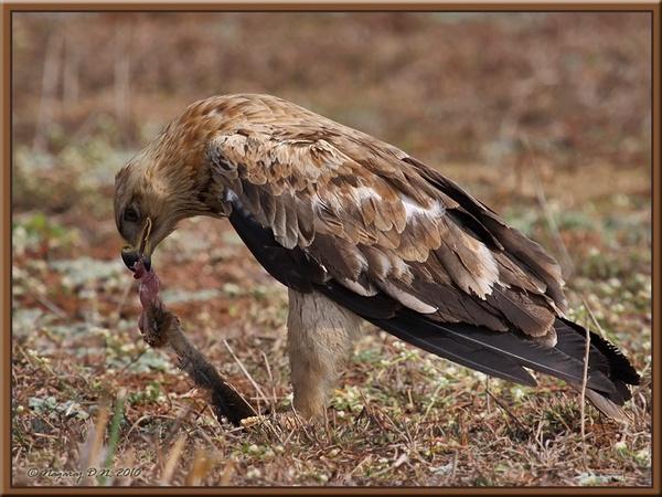 Tawny Eagle Enjoying the Prey by nasoteya