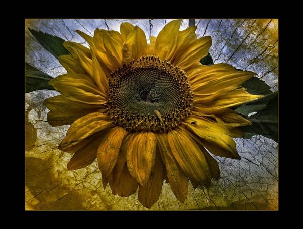 *Sunflower by Mynett