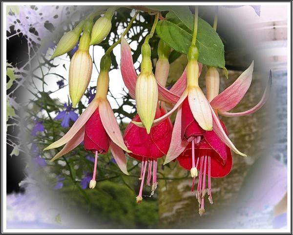 Fuchsia\'s by cedaray