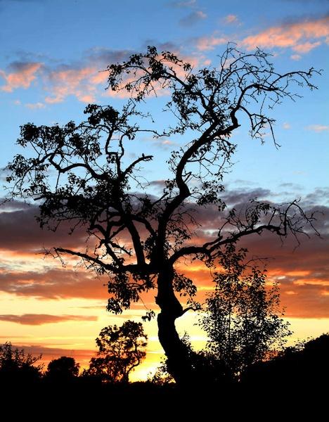 plum tree at sunset by petemasty