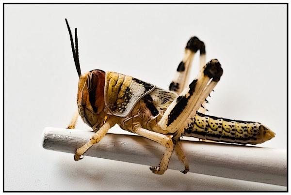 Locust & Chopsticks by JackAllTog