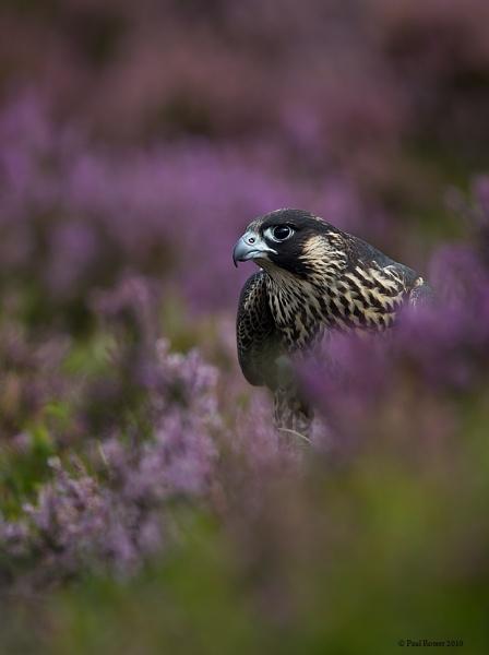 Perigrine Falcon In Purple Heather by paulrosser