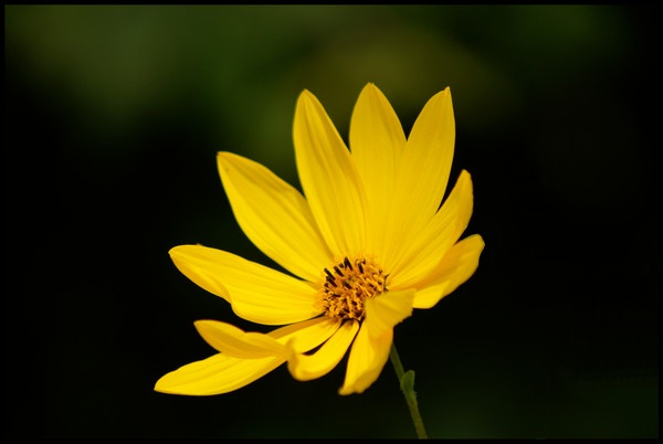 Yellow flower by alianar