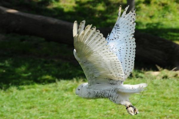 Snowy Owl in Flight by ChrisB53