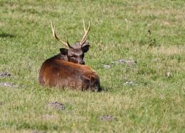 Wild Sika Deer