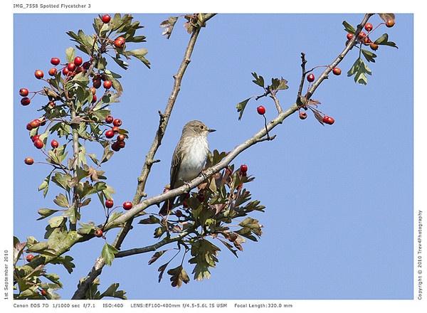 Spotted Flycatcher by trev4