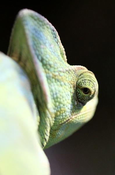 Chameleon by Louise_Morris