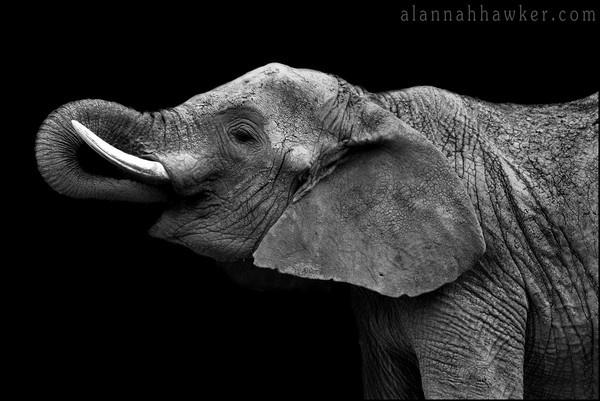 African Elephant by AlannahHawker